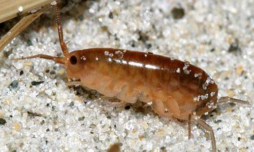 Песчаные блохи в Таиланде: фото и лечение от укусов насекомых.